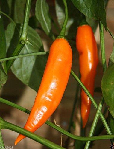 10 seeds - Aji Amarillo Chile Pepper Seeds -Aji Rojo, Use Fresh,Roasted,dried,Sauces,powder