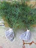 "(4) Cherokee mountainWhite Pine 20"" to 24"" transplant Starter tree seedlings Ref#REG"