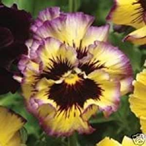 30+ Pansy Ruffled Fizzy Lemon Berry / Annual Flower Seeds