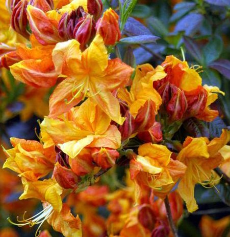 Spectacular Flowering Azalea Klondyke Potted Plant, Great as a Accent Plant, Starter Plant