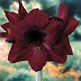 Black Pearl Giant Dutch Amaryllis - New Color - 26/28cm Large Bulb