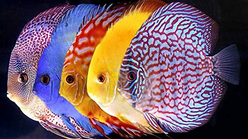 WiHome 5D Diamond Painting Kits for Adults Full Drill Symphysodon Discus Tropical Fish Embroidery Rhinestone Painting