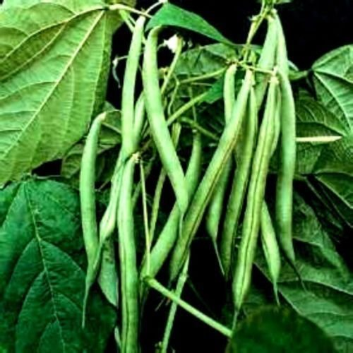 Portal Cool Kentucky Wonder (Bush) Beans - 30 Seeds Great Taste (Wonder Beans Kentucky Bush)