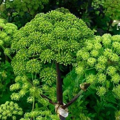 Cutdek Norwegian Angelica Herb Seeds (Angelica archangelica) 200+Seeds : Garden & Outdoor
