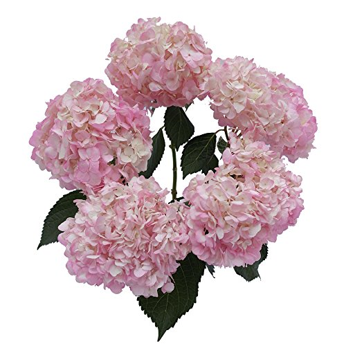 Flowers Bloom Fresh (GlobalRose 10 Light Pink Hydrangea Flowers- Fresh Open Blooms for a Centerpiece or Bouquet)