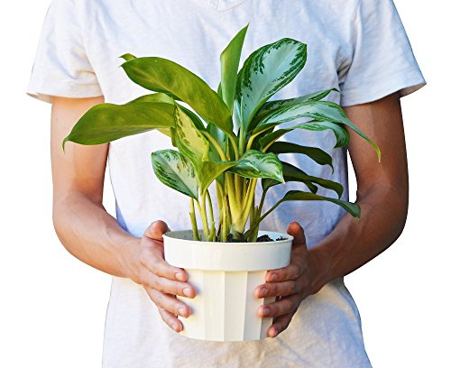 Chinese Evergreen 'Silver Bay' - Aglaonema - Live House Plant - FREE Care Guide - 6