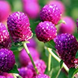 Nianyan 50PCS/Pack Gomphrena Globosa Seeds Bonsai Plant Annual Flower Seeds Home Garden