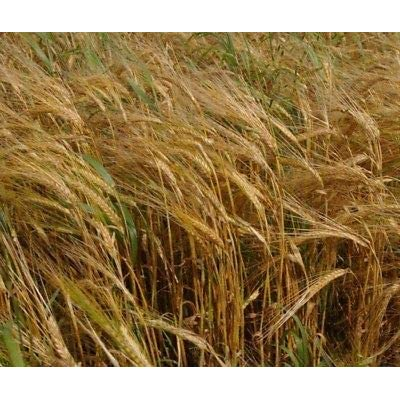 Purple Hulless Barley Grain Seed - Cereal Grains Cover Crop Seeds (½oz : Garden & Outdoor