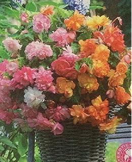 Pack x3 Bulbs//Tubers Begonia Pendula White Flowering WPC Prins Bulbs