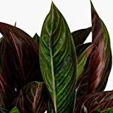 AMERICAN PLANT EXCHANGE Aglaonema Chocolate Chinese