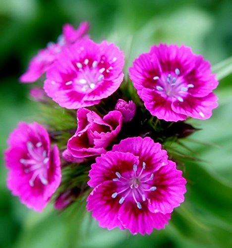 500+PINK SWEET WILLIAM European Wildflower Seeds Perennial Groundcover (Sweet William Perennial)