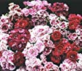 Dianthus French Frills 250 seeds