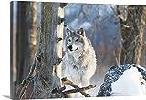 Gallery-Wrapped Canvas entitled Female Gray Wolf, captive, Alaska Wildlife Conservation Center, Portage, Alaska by Doug Lindstrand 30''x20''