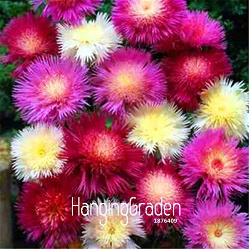 Seed 100 Pcs A Bag Big Sale!Sweet Sultan Imperialis Bonsai Plants Home Flower Pots Balcony Flower Flores