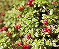 Details About American Cranberry Bush, Viburnum trilobum - Live Bare Root Plant