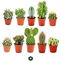 Conjunto de 10 cactus diferentes, con macetero de aproximadamente 5,5 cm8 cm a 15 cm.