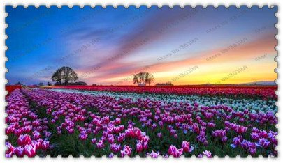 300true tulip bulbs, tulip flower, flower bulbs, outdoor plant, Natural growth, bonsai pot for home garden SVI