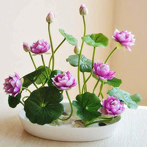 airrais Seeds 5pcs Dwarf Lotus Flower Seeds Mixed Colors Mini Water Lily Flowers Seeds Aquatic Plant for Home Garden Balcony