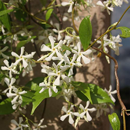 Cottage Hill Star Jasmine - 2 Piece Live Plant, White Blooms by Cottage Hill (Image #3)