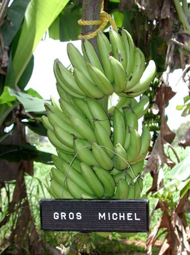 Gros Michel Banana Plant - RARE Variety by LLC Marketing