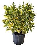 PlantVine Codiaeum variegatum 'Gold Dust', Croton - Medium x 4-6 Inch Pot (1 Gallon), 4 Pack, Live Indoor Plant