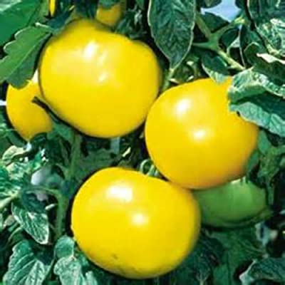 Golden Boy Tomato! 20 Seeds! LOW ACID! OVER 100 KINDS OF TOMATOES IN OUR STORE : Garden & Outdoor