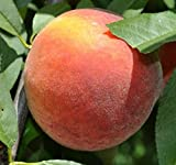 Florda Prince Freestone Peach Tree--Shipped in Soil on Foam Cushion, Five Gallon Container