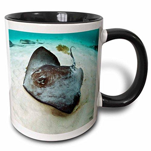 3dRose 3dRose Southern stingray (Dasyatis americana) in blue clean Caribbean waters at Gibbs Cay - Two Tone Black Mug, 11oz (mug_45511_4), , Black/White Southern Stingray Dasyatis Americana