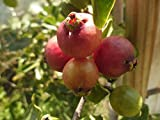 Red cherry guava (Psidium cattleianum var. cattleianum) - 20 seeds