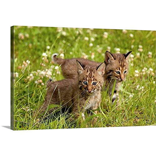 GREATBIGCANVAS Gallery-Wrapped Canvas Bobcat Kittens by John Pitcher 18