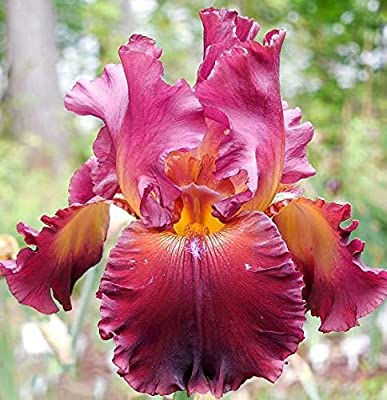 Amazon.com: Red Iris Bulbs-2 Bulbs-Stunning Bearded Flowers ... on full sun plants, plateau plants, zone 4 trees, evergreen rock garden plants, california plants, usda plants, united kingdom plants, zone 4 architecture, temperature zones for plants, zone 4 vines, garden mums plants, zone 4 landscaping, zone 4 flowers, zone 4 grasses, south dakota plants, san francisco plants, zone 4 gardening, roses plants, zone 4 roses, unknown plants,