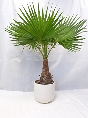 Washingtonia robusta 160 cm / Stamm 50 cm - Petticoat Palme