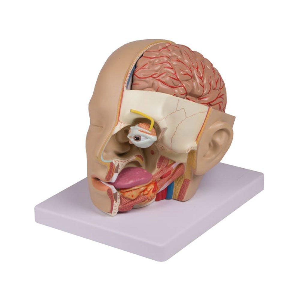 Anatomie Modell Kopf-Modell Augenmodell Schädelmodell 4-teilig ...