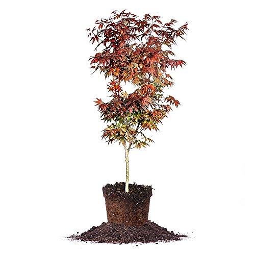 Bloodgood Japanese Maple - Size: 3-4 ft, live plant,  includes special blend fertilizer & planting guide