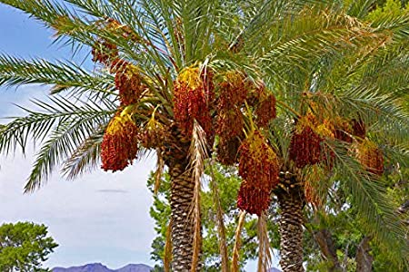 Attractive palm hardy to -5C. Phoenix dactylifera Date Palm - 10 seeds