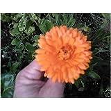 Fiore - Calendula officinalis - Calendula - 150 Semi - Confezione Risparmio