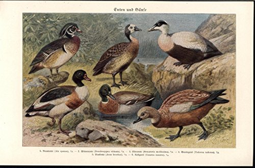 Harlequin Antique - Ducks Water Fowl Aquatic Birds Harlequin 1926 antique color lithograph print