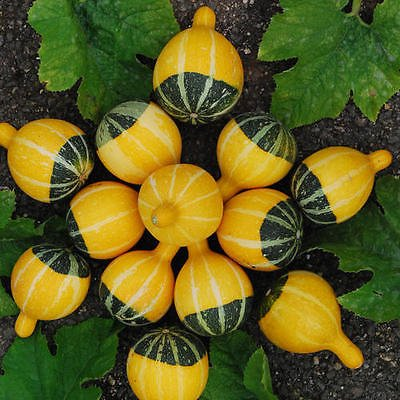 (Bi-Color Pear - 25 seeds 25 Gourd Seeds - Bird House Fruited Warted Speckled Swan Luffa Pear Turban )