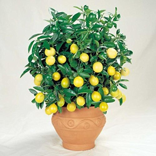 Escolourful Lemon Tree Seeds 30 Capsules,Plant Fruits Seeds - Indoor/Outdoor Bonsai Seeds (Yellow Lemon Seeds)