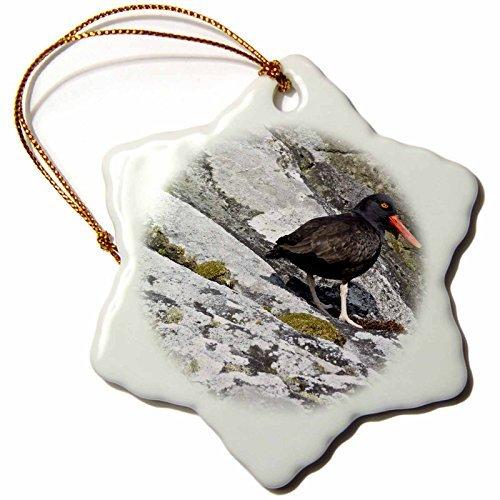 (OneMtoss Kike Calvo Patagonia ISLA DE Los ESTADOS Blackish Oyster Catcher,Haematopus ater, Hoppner Bay Snowflake Porcelain)