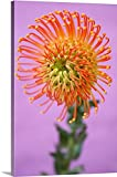 Gallery-Wrapped Canvas entitled Orange Pincushion Flower by Great BIG Canvas 24''x36''