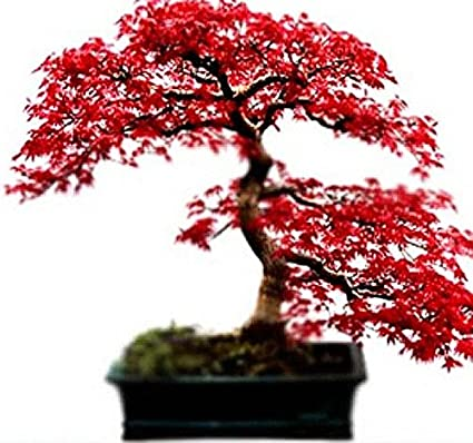 Amazoncom Red Maple Tree Seeds Acer Rubrum Excellent For