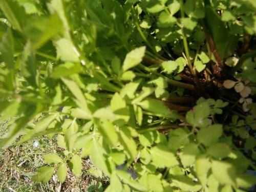 Water Dropwort/Korean Watercress- Edible Leafy Vegetables, Buy 12 Rooted Plants Get 12 FREE by dropwort