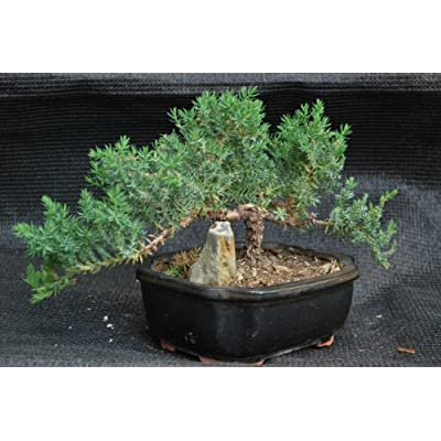 9GreenBox - Juniper Tree Bonsai with Ceramic Pot : Bonsai Plants : Grocery & Gourmet Food