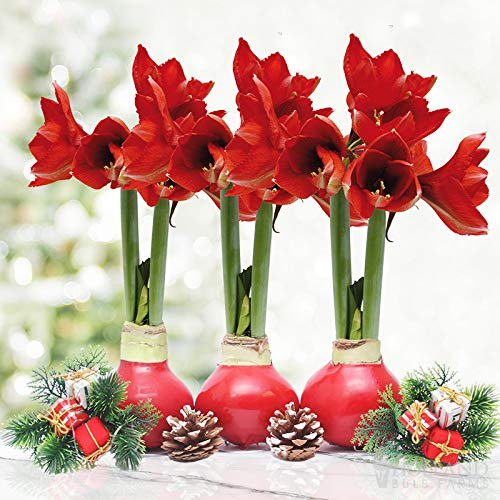 Red Waxed Amaryllis Flower Collection, No Water Needed (Pack of 3)