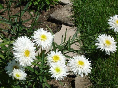Chrysanthemum Seeds 100 Seeds Crazy Daisy Shasta Daisy Seeds Big Blooms