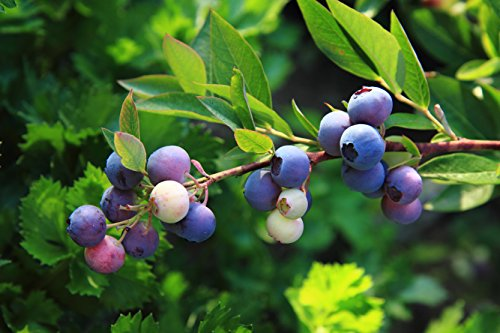 2 PATRIOT NORTHERN HIGHBUSH BLUEBERRY 2 YEAR OLD PLANT, 1 GALLON SIZED PLANT SHIPPED BARE ROOT! by Hand Picked Nursery (Image #1)
