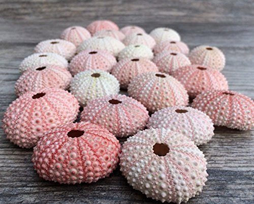 Sea Urchin |25 Pink Sea Urchin Shell |25 Pink Sea Urchin Shells for Craft and Decor | Nautical Crush Trading TM - Shell Coastal Decor