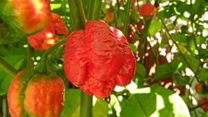 Moruga Scorpion Pepper Plants Combo #2