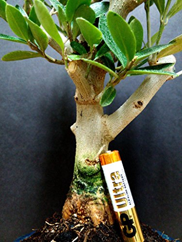 Miniature Bonsai - Olive Tree - 5 Year Old Plant by Miniature Bonsai (Image #4)